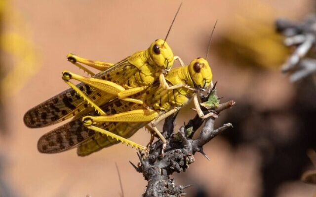 locust-couple-640x400